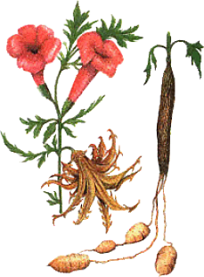 Harpagophytus procumbens