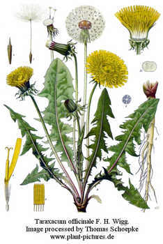 Taraxacum officinalis