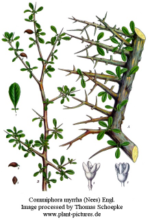 Commiphora myrrha