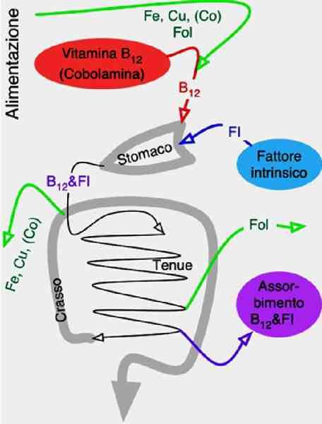 Assorbimento digestivo di sostanze ematorilevanti