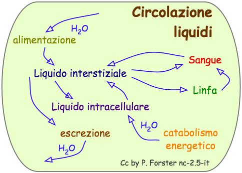Circolazione di liquidi nell'organismo