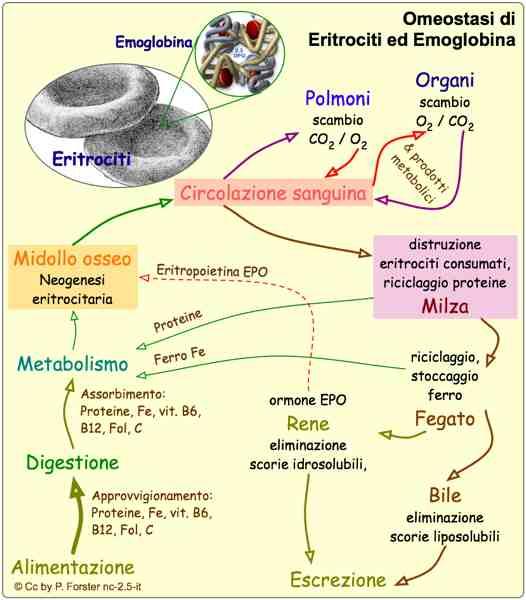 Omeostasi eritrociti ed emoglobina