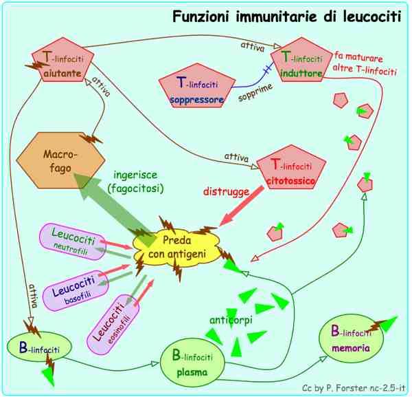 Funzioni immunitarie di leucociti