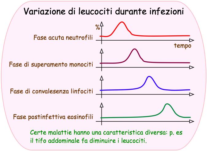 Variazione di leucociti durante infezioni
