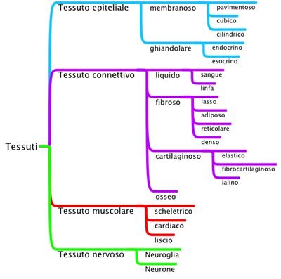 Tessuti anatomia sanotint light tabella colori - Che forma hanno le cellule dei diversi tessuti ...